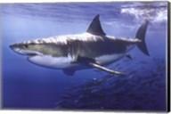 Great White Shark Underwater Wall Poster