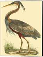 Small Purple Heron Fine-Art Print