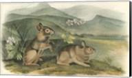 Nuttall's Hare Fine-Art Print