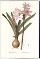 Amaryllis Belladonna Fine-Art Print