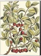 Cherry Tree Branch Fine-Art Print