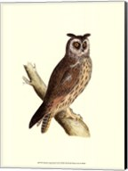 Long Eared Owl Fine-Art Print