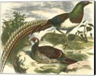 Amherst Pheasant Fine-Art Print