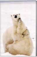 Playful Polar Bears Wall Poster