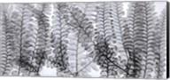 Maidenhair Ferns Fine-Art Print