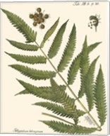 Small Antique Fern II Fine-Art Print