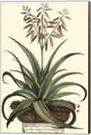 Antique Munting Aloe III Fine-Art Print