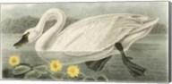 American Swan Fine-Art Print