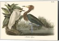 Reddish Egret Fine-Art Print