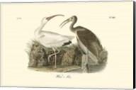 White Ibis Fine-Art Print