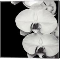 Orchid Portrait II Fine-Art Print