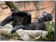 Chimp - Just relaxing Fine-Art Print