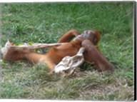 Orangutan - Stretchin out Fine-Art Print