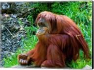 Orangutan - Giving it some thought Fine-Art Print