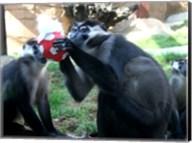 Monkeys - Why play ball when you can eat it Fine-Art Print