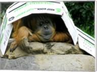 Orangutan - Give me shelter Fine-Art Print