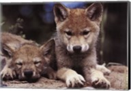 Spring Wolf Pups Fine-Art Print