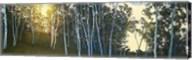Hillside Birches Fine-Art Print