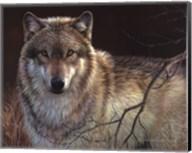 Uninterrupted Stare- Gray Wolf Fine-Art Print