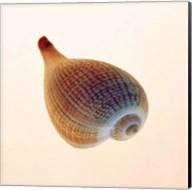 Fig Shell Fine-Art Print