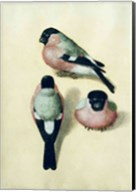 Three studies of a bullfinch Fine-Art Print