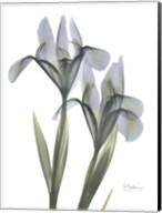 Blue Floral X-ray Iris Fine-Art Print