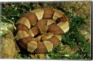 Broad Banded Copperhead Coiled Snake Fine-Art Print