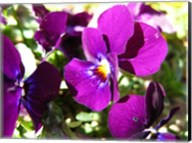 Purple Pansy Fine-Art Print