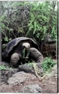 Galapagos Giant Tortoise eating grass Fine-Art Print