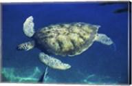 Green Sea Turtle swimming Fine-Art Print