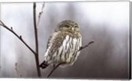Pygmy Owl Fine-Art Print