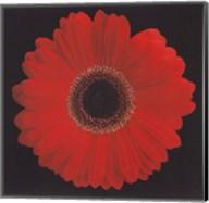 Gerbera Daisy Red Fine-Art Print