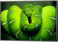 Green Emerald Tree Python Snake Fine-Art Print