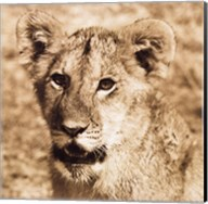 Young Lion Fine-Art Print