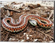 Coast Garter Snake Fine-Art Print