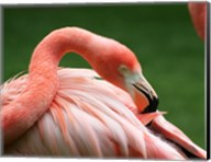 Flamingo Grooming Fine-Art Print