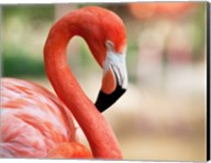 Phoenicopterus Chilensis Fort Worth Zoo, Texas, USA Fine-Art Print