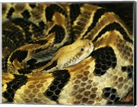 Timber Rattlesnake Fine-Art Print