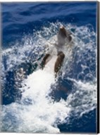 Bottle-Nosed Dolphin Splashing in the Ocean Fine-Art Print