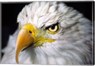 Close-up of a Bald eagle (Haliaeetus leucocephalus) Fine-Art Print