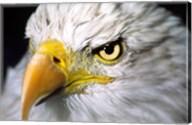 Close-up of a Bald eagle (Haliaeetus leucocephalus) Fine-Art Print