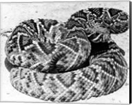 Close-up of a Western Diamondback Rattlesnake (Crotalus atrox) Fine-Art Print