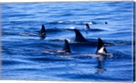 Pod of Killer Whales swimming in the Sea Fine-Art Print