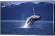 Humpback Whale  Alaska  USA Fine-Art Print