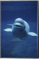 Beluga Whale In Ocean Fine-Art Print