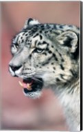 Close up of Snow Leopard Fine-Art Print