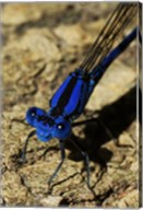 Springwater Dragonfly Fine-Art Print