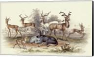 Antelope Varieties Fine-Art Print