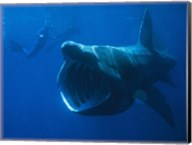 Basking Shark Fine-Art Print