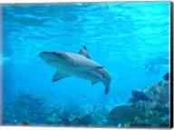 Shark Underwater Fine-Art Print